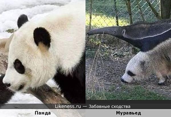 Панда и лапа муравьеда