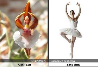 Орхидея напоминает балерину