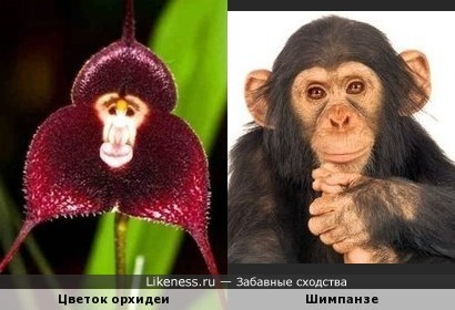 Цветок орхидеи похож на обезьяну