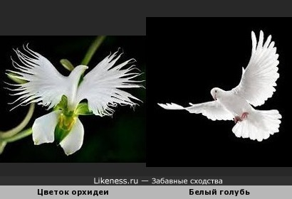 Цветок орхидеи похож на белого голубя в полёте