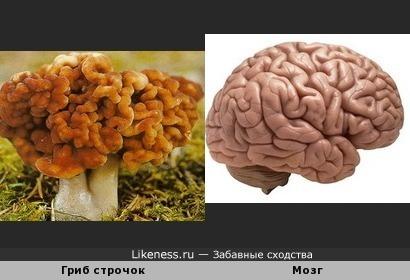 Гриб строчок похож на мозг