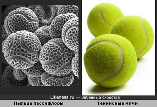 Пыльца пассифлоры под микроскопом напоминает теннисные мячи
