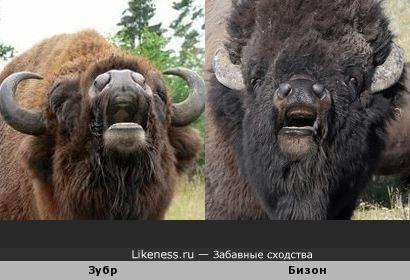 Зубр и бизон похоже мычат