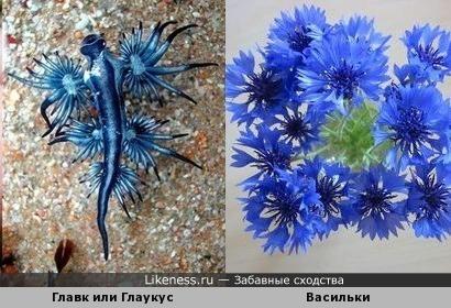 В воде переродились - на земле воплотились: голожаберный моллюск Главк или Глаукус и василёк