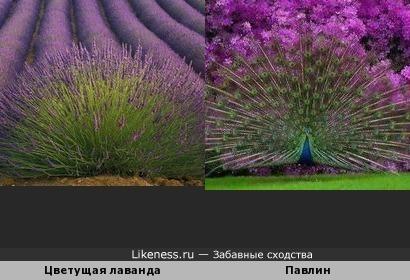 Цветущая лаванда и павлин