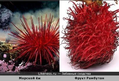 Морской ёж похож на экзотический фрукт Рамбутан