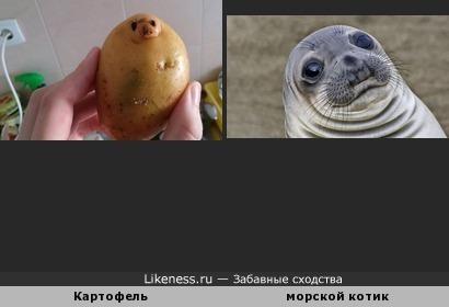 Картофель и морской котик