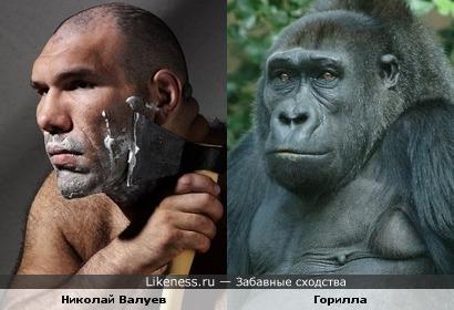 Николай Валуев уж очень похож на эту гориллу...