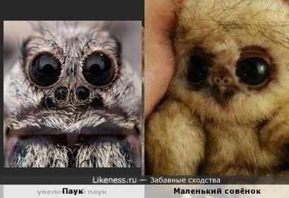 Глазища паука похожи на глазки совёнка