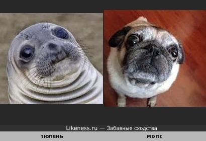 Рожица тюленя похожа на рожицу мопса