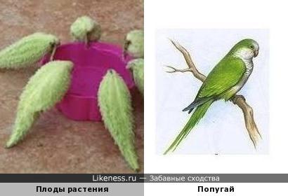 Плоды травянистого растения похожи на попугая