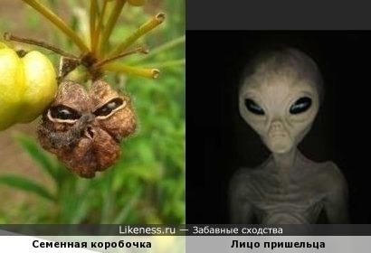 Семенная коробочка растения Беламканда похожа на лицо гуманоида