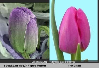 Капуста брокколи опд микроскопом похожа на цветок тюльпана