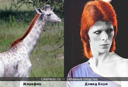 Жираф похож на Дэвида Боуи