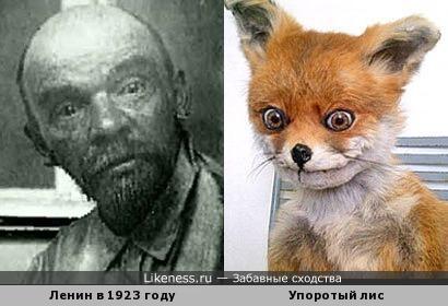 Ленин похож на Упоротого лиса