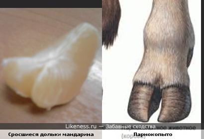 """Сросшиеся """"сиамские"""" дольки мандарина (разделить нельзя) напоминают копыто парнокопытного животного"""