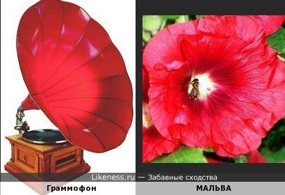 Цветы мальвы и граммофон