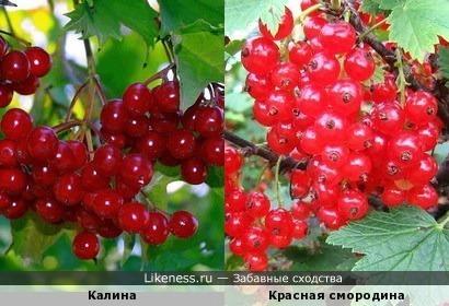 Калина и Красная смородина