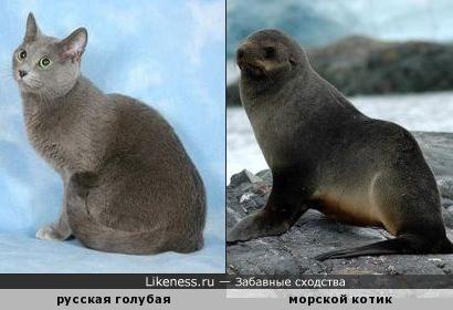 русская голубая похожа на морского котика