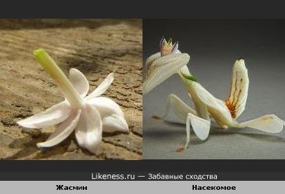 Насекомое напоминает цветок жасмина..