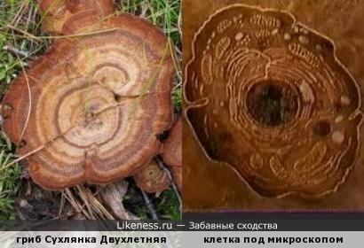 гриб Сухлянка Двухлетняя сверху похож на клетку под микроскопом