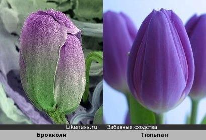 Брокколи под микроскопом похоже на тюльпан