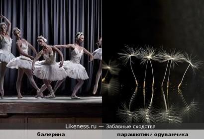 Парашютики одуванчика похожи на ноги балерины