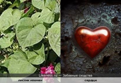 Листики ипомеи напоминают сердце