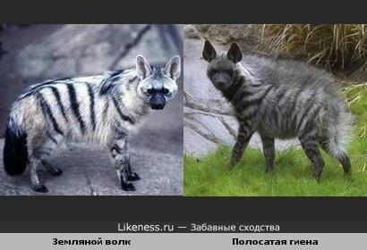 Может кому-то и не нравится животная тема, но земляной волк очень похож на полосатую гиену
