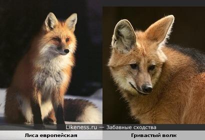 Европейская лиса и гривастый волк очень-очень похожи (вот так кумовья!)