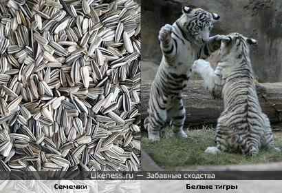 Семечки похожи на белых тигров