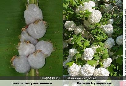 белые летучии мышки похожи на соцветия калины Бульденеж или снежки