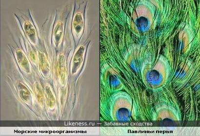 Морские микроорганизмы похожи на перья павлина