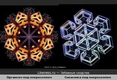 Какой-то организм под микроскопом похож на снежинку под микроскопом