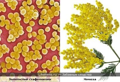 Золотистый стафилококк похож на цветы мимозы