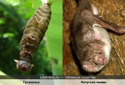 Мордочка гусеницы похожа на мордочку летучей мыши