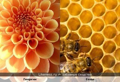 Георгин похож на пчелиные соты