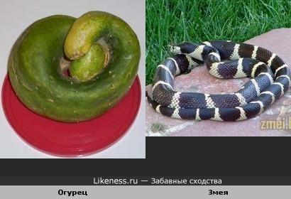 Огурец похож на змею свернувшуюся клубком