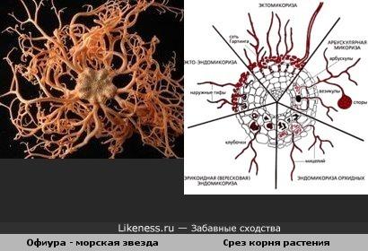 Морская звезда похожа на срез корня растения