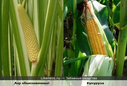Цветок аира обыкновенного похож на початок кукурузы