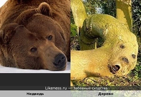 Нарост на дереве напоминает морду медведя