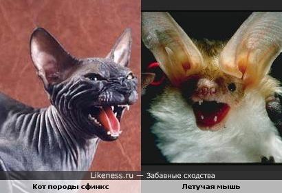 Коты-сфинксы похожи на летучих мышей