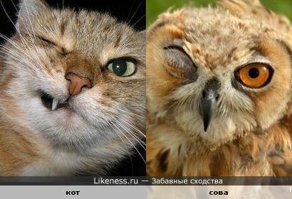 Кот и сова имеют определённое сходство