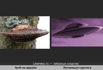 Гриб на дереве похож на летающую тарелку