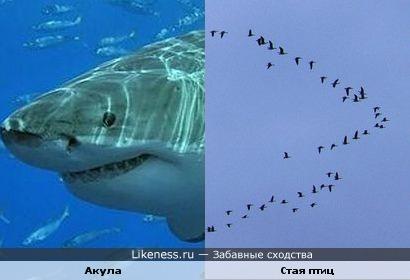 Стая птиц похожа на морду акулы