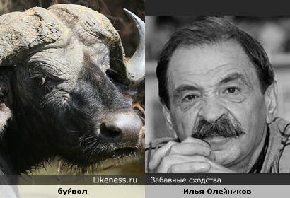 Илья Олейников и буйвол