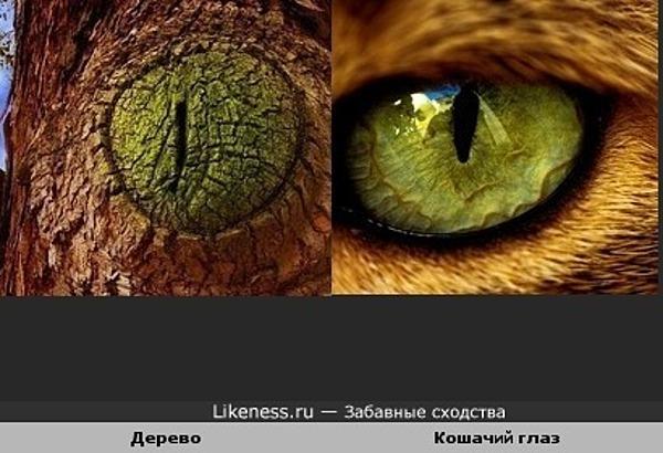 Нарост на дереве похож на кошачий глаз