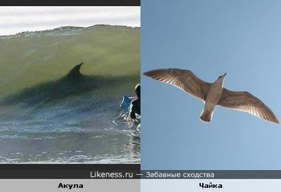Акула похожа на чайку