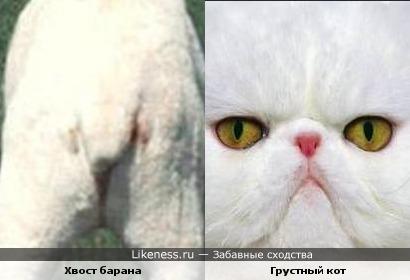 Хвост барана Хвост барана похож на морду грустного кота