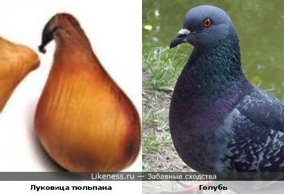 Луковица тюльпана похожа на голубя
